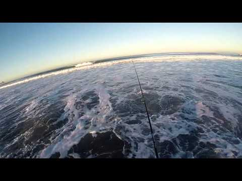 San diego surf fishing ib slab barred surf perch 17 for Surf fishing san diego