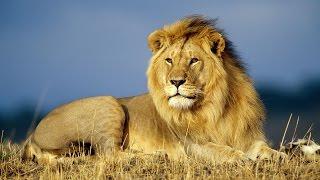 Grandes Depredadores Felinos de la Sabana