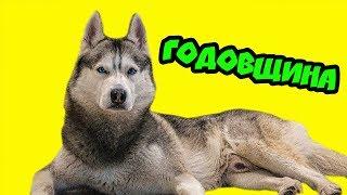 МОЕМУ КАНАЛУ - ГОДИК! (Хаски Бандит) Говорящая собака