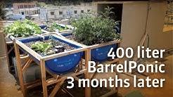 400 liter Barrel ponics 3 months later