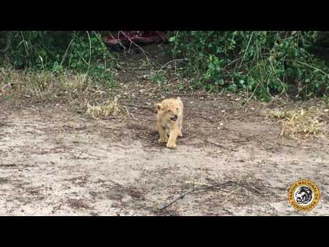 I am a Gorongosa Lion! Hear me Roar!
