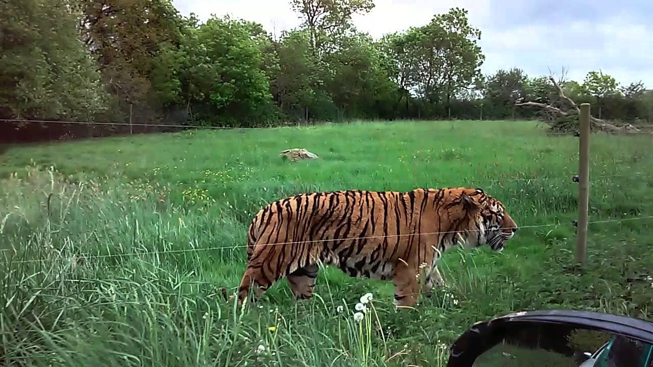 Tigre Safari Africain Youtube