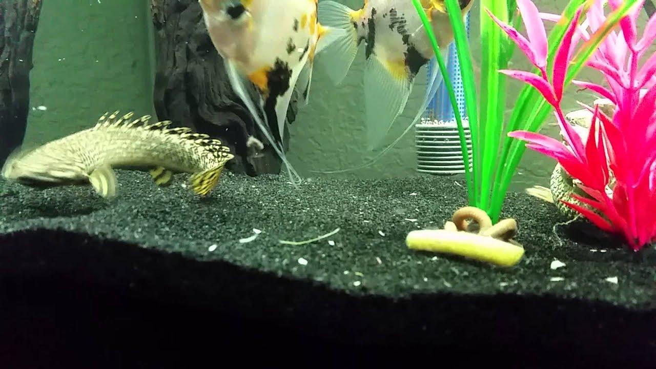 Ornate Bichir Eating Live Earth Worm Youtube