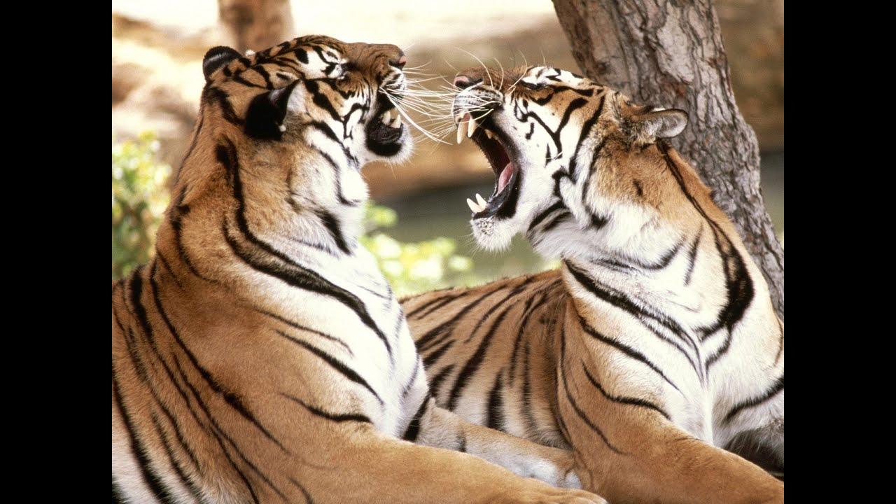 tiger king - photo #41