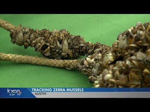 Zebra mussels turn up in Austin Water intake valves