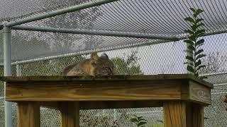 Bobcat Rehab and Release Cam 11-30-2017 05:30:40 - 06:30:41 thumbnail