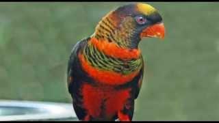 Dusky Lory Bird Call Bird Song