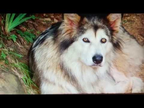 Tribute to Tala our wolf dog