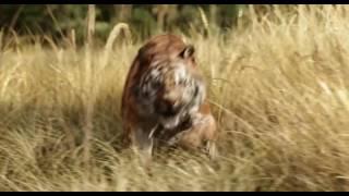 Книга джунглей (2016) трейлер