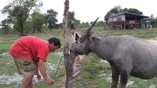 Water Buffalo in Pakse, Laos