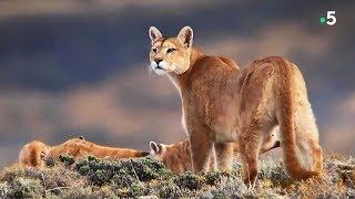 Maman puma chasse le lama - ZAPPING SAUVAGE