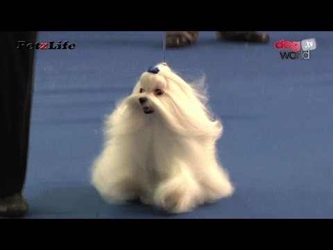 Belfast Dog Show 2015 - Toy group