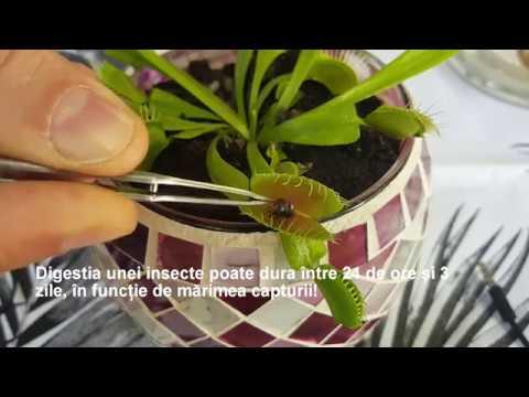 plante carnivore dionaea ingrijire