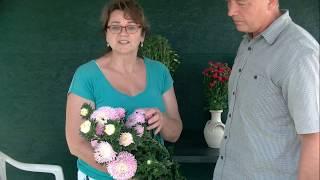 Как выглядит цветущая Хризантелла и другие новые сорта Астры.
