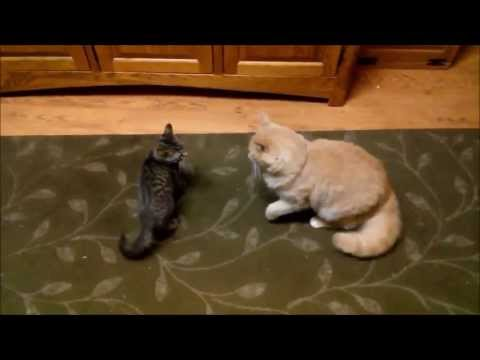 Kitten playing with adult cat