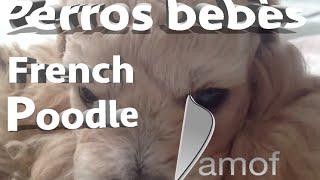 Perros Bebés French Poodle | Damof