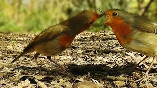 Birds Courtship Feeding - Male Robin Feeding A Female Robin