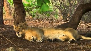 Тайны дикой природы Индии - Львы пустыни(, 2014-10-06T10:53:22.000Z)