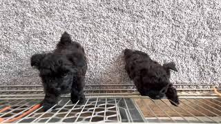 Yorkie Poo puppies age 7 weeks