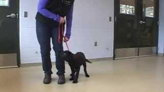 Puppy Collar Cue Training
