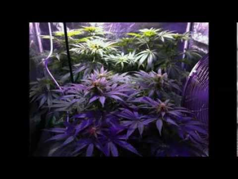 400 watt Cannabis Coco Tent Grow - The Doctor, White Widow - seed to harvest slideshow