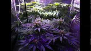 400 watt Cannabis Coco Tent Grow - The Doctor, White Widow - seed to harvest slideshow