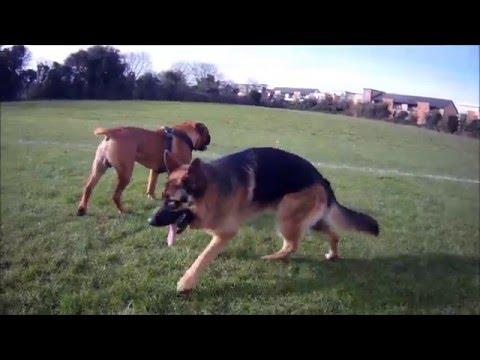 Max the Bull Mastiff n Grip the Alsation / German Shepard play
