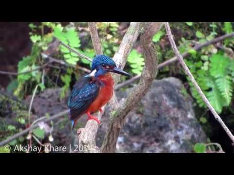 Preening Blue-eared Kingfisher