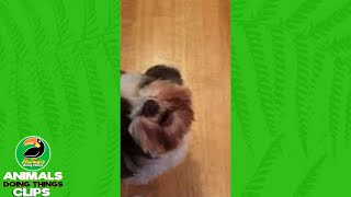 Dog Howls Like a Screaming Kid | Animals Doing Things Clips