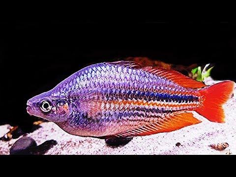 They Are Huge! Amazing Melanotaenia Rainbowfish.