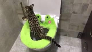 Как приучить котёнка к унитазу? Наши котята уже умеют! Бенгал Ф1 питомника Royal Cats