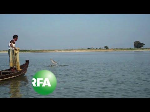 Myanmar's 'Smiling' Irrawaddy Dolphins on Brink of Extinction   Radio Free Asia (RFA)