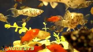 Dalmatian Molly & Red Wag Platy Fish