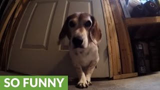 Hidden cameras catch greedy beagle in the act