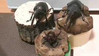 28 外国産カブトムシはやっぱりデカイ!!!ネプチューンオオカブトがま...