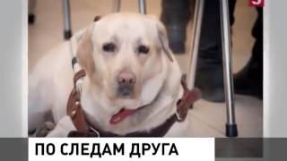 Украденную в Москве собаку поводыря вернули хозяйке!