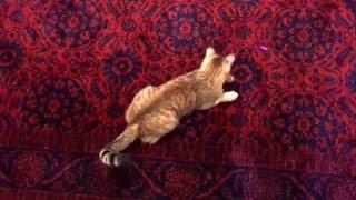Gambar cover Lazerle Oynayan Kedi | Funny Cat Playing Laser