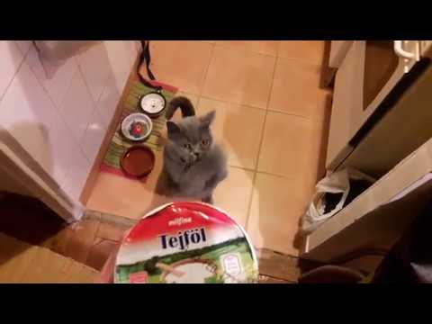 Cat The Dancer Begs For Food & It's Hilarious