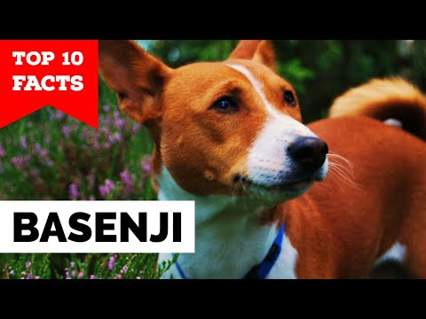 Basenji - Top 10 Facts
