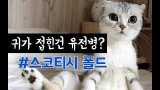 [고양이 소개] 접힌귀가 매력적인 스코티시 폴드 질병도 많다?