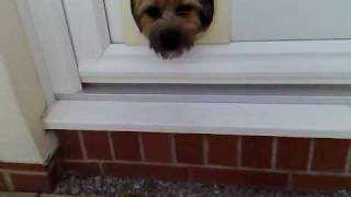 Border Terrier Uses Cat Flap