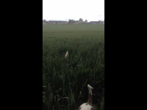 Funny Dogs jumping in corn field