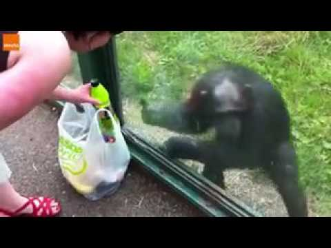 Olha só que o macaco é muito inteligente 😱