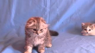 котенок хайленд фолд