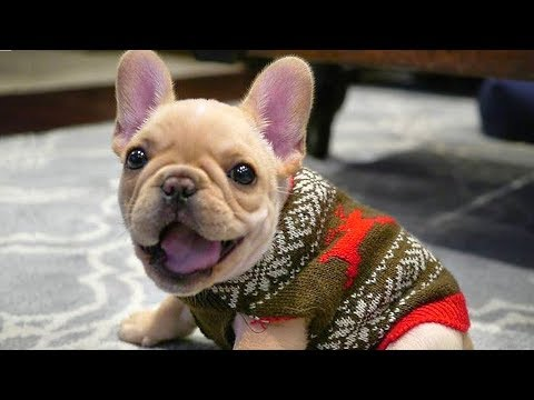 Best of Funny French Bulldog Compilation