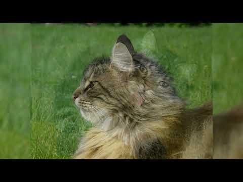 Норвежская лесная кошка. Плюсы и минусы, Цена, Как выбрать, Факты, Уход, История