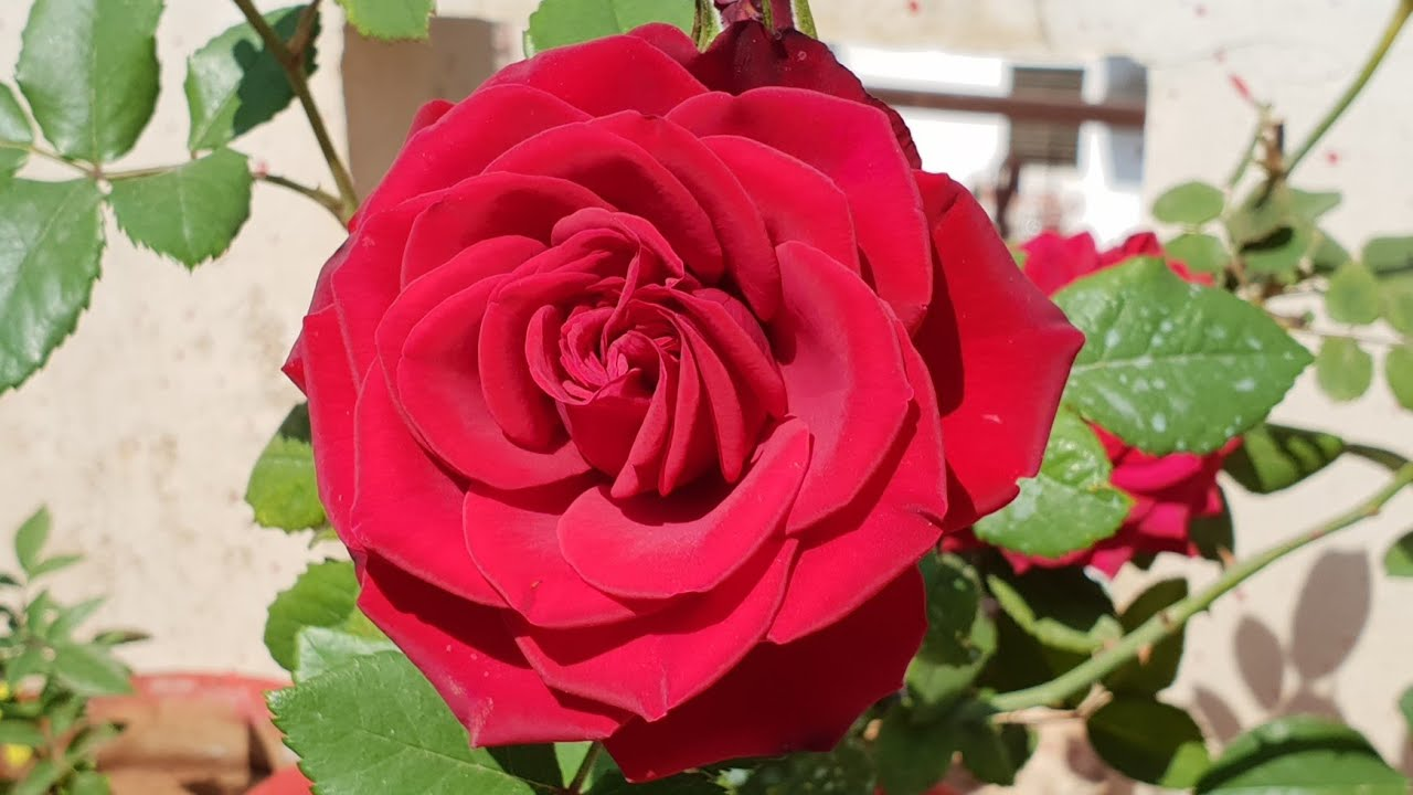 Roses In Garden: Care Of Rose Plant In Summer