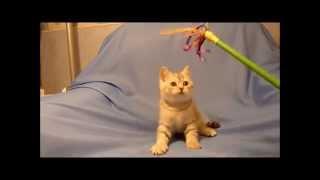 Британские чистокровные котята редкий окрас
