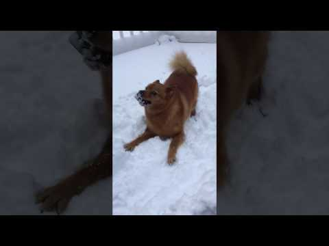 Finnish Spitz, a northern hunting dog, likes snow