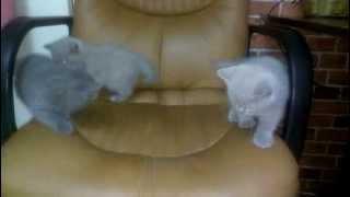 Плюшевые котята скотиш страйт (шотландске вислоухие)
